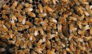 الوجبات السريعة تقصر عمر النحل