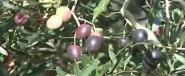 المغرب 6 عالميا في انتاج زيت الزيتون