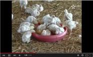 منع استيراد الدجاج من بعض الدول الأوروبية