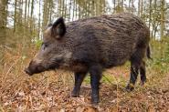 معطيات جديدة بخصوص واقعة  الخنزير البري بدوار أفرى جماعة إدلسان