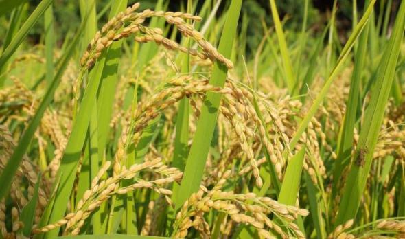 تغير المناخ سيؤدي لنقص إنتاج العالم من القمح
