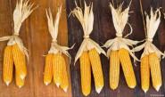 الذرة تحوي مواد قد تقي من السرطان