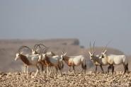 إطلاق ظباء المها وغزلان المهر في محمية مصيصي بإقليم تنغير