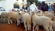 حصاد يتابع المرشحين الذين يوزعون أضاحي العيد على المواطنين
