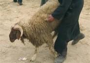 خطير … هكذا استطاع بوليسي مزور أن يسرق 13 خروفا.