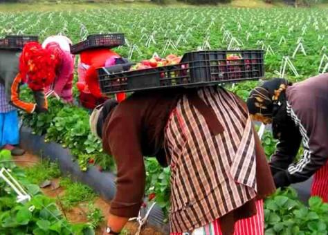 مغربيات يعملن موسميا في حقول اسبانية يرفعن شكاوى بتحرشات جنسية